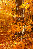 Golden maple trees. On an beautiful October day stock photography