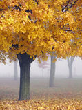 Golden Maple Trees in the Mist. Maple trees with their peak fall foliage on a misty morning Royalty Free Stock Photography