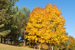 Golden maple trees in the park stock photo