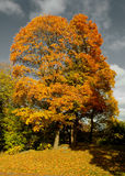 Golden maple trees. Golden and red maple trees against dark sky stock photo