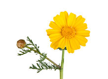 Golden Marguerite Royalty Free Stock Photos