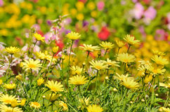 Golden Marguerite, Anthemis tinctoria Royalty Free Stock Photo