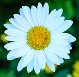 Golden Marguerite Daisy Royalty Free Stock Images