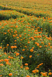 Golden marigold fields (2) Royalty Free Stock Photos