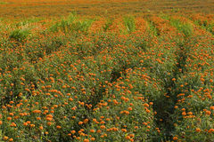 Golden marigold fields (4) Royalty Free Stock Photo