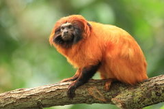 Golden marmoset Stock Images