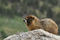 Golden marmot keeping watch on a big rock Stock Photography