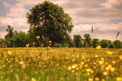 Golden meadow royalty free stock images