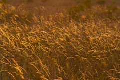 Golden Meadow. Meadow grass in the warm rays of the setting sun stock photography