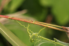 Golden mean ratio. As expressed by the tendrils in the vine stock photography