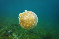 Golden medusa Mastigias jellyfish in Caribbean sea Stock Photography