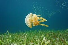 Golden medusa spotted jellyfish in Caribbean sea. Golden medusa,Mastigias jellyfish, under water in the Caribbean sea, Bocas del Toro, Panama stock photos