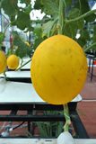 Golden Melon or Cucumis melon indorus Royalty Free Stock Photo