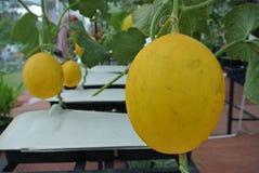 Golden Melon or Cucumis melon indorus Royalty Free Stock Images