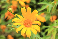 Golden Mexican Sunflower. Mexican Sunflower and Mexican Sunflower tree blur background Stock Photography