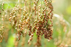 Golden millets Royalty Free Stock Photo