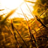In Golden Moment. Brown Grass in golden moment Royalty Free Stock Photography