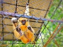 Golden Monkey! ( 金丝猴) royalty free stock photography