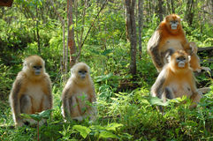 Golden monkey. Four golden monkey sitting behind tourist Royalty Free Stock Photography