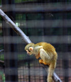 Golden Monkey. A golden monkey in the cage Royalty Free Stock Images