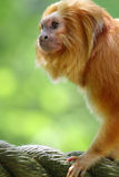 Golden Monkey Stock Photos