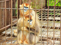 Golden Monkey in cage Stock Image