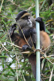 Golden Monkey (Cercopithecus kandti) Royalty Free Stock Photography