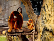 Golden monkey Royalty Free Stock Photography