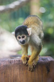 Golden Monkey. Naughty golden monkey playing on a trunk Royalty Free Stock Photos