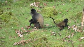 Golden monkey with offspring stock video