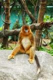 Golden Monkey Stock Photo