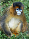 Golden Monkey Royalty Free Stock Photos