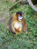 Golden Monkey Royalty Free Stock Image
