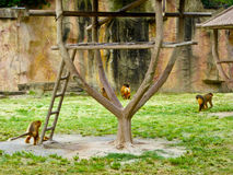 Golden Monkeys Royalty Free Stock Image