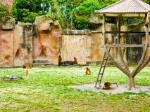 Golden Monkeys Stock Photos
