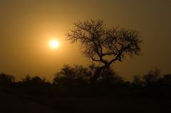 Golden Moods. Silhouette of tree in Northern South Africa - strange golden glow after recent fire Stock Photos
