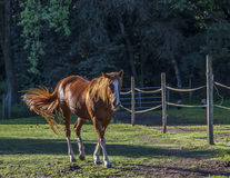 Golden Morning Horsing Around Stock Photography