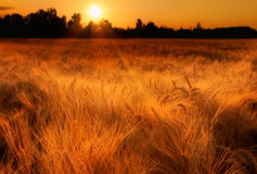 Golden morning. Golden wheat and light on an early summer morning stock photos