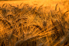 Golden morning. Golden wheat and light on an early summer morning royalty free stock image