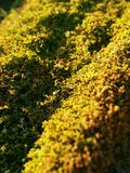 Golden Moss in a field Royalty Free Stock Images