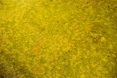 Golden moss under water, Golden texture background created by under water moss. Royalty Free Stock Photography