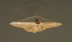 Golden Moth And Double Reflection Off Glass Royalty Free Stock Image