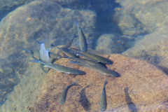 Golden Mullet. In the ocean , fuerteventura, Spain Royalty Free Stock Photography