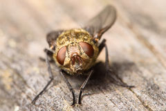 Golden Muscidae House Fly. Small Golden Colored Muscidae Fly with Dark Red Compound Eyes Stock Photo