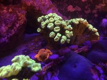 Golden Mushroom and Trumpet Kriptonite Coral on a Reef Tank Stock Images