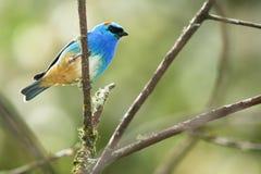 Golden-naped tanager, tropical bird in Peru. Perched Golden-naped tanager (Tangara ruficervix), a tropical bird in Aguas Calientes, close to Macchu Picchu, Peru Royalty Free Stock Images