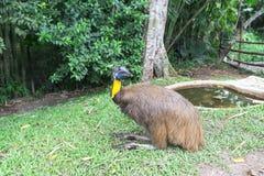Golden Neck Cassowary. Flightless bird golden neck cassowary Royalty Free Stock Photo