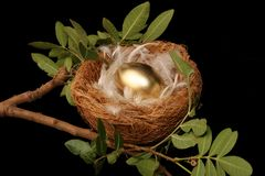 Golden Nest Egg. Golden egg in a nest with white feathers - conceptual Stock Photo