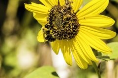 Bumble Bee. Golden northern bumble bee collecting pollen from yellow sunflower on sunny day Royalty Free Stock Image