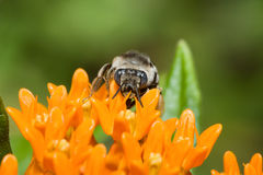 Golden Northern Bumblebee Royalty Free Stock Images